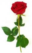 Роза Голландия, 60 см.